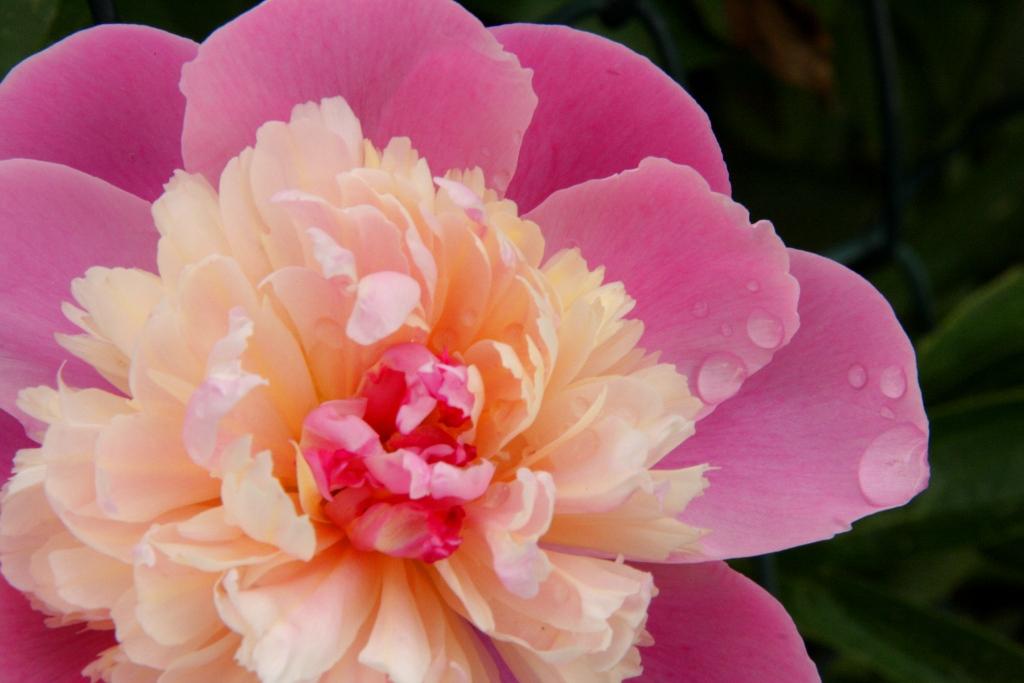 Morning Dew In Blossom
